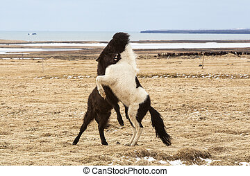 Icelandic horses fighting against each other on a meadow in...