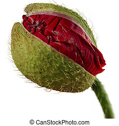 Poppy bud - Red poppy flower bud isolated on white, macro