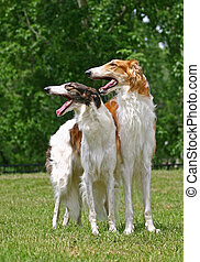 The Borzoi is a breed of domestic dog Canis lupus familiaris...