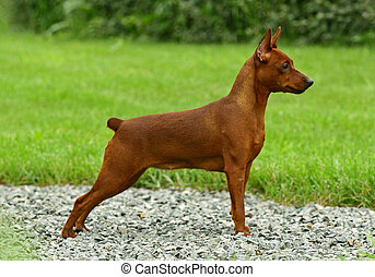 The Miniature Pinscher Zwergpinscher, Min Pin is a small...