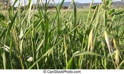 Grass Moving In The Breeze - Video clip of grass moving in...