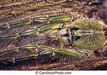 tarantula Poecilotheria rufilata - Tarantula Poecilotheria...
