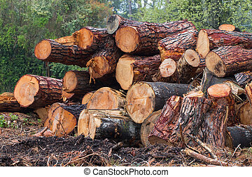 cutted trunks of pines and poplars stacked in a pile felled...