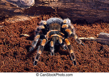 Mexican red knee tarantula Brachypelma smithi close-up on a...