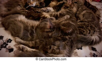 family group of kittens with father, breed Maine Coon, lying...