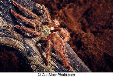 tarantula Tapinauchenius gigas - Tarantula Tapinauchenius...