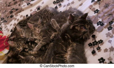 family group of kittens with father, breed Maine Coon, lying on bed. Resting and licking