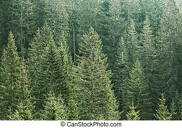 Green coniferous forest with old spruce, fir and pine trees...