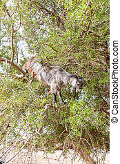 The Morocco Goat feeding in a tree - The Morocco Goat...