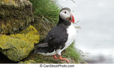 Puffin. - Close-up view, Latrabjarg cliff, Iceland