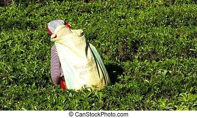 Women from Sri Lanka harvested tea leaves - Woman from Sri...