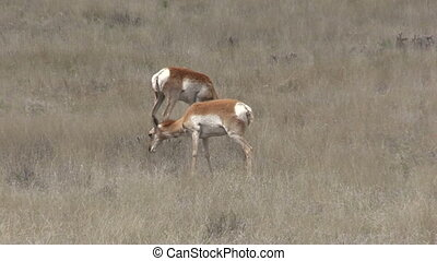 Pronghorn Antelope Does - a pair of pronghorn antelope does...
