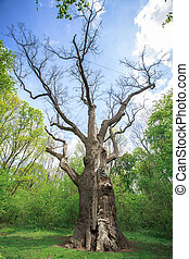 old dry oak - Millennium old dry oak on the background of...