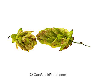 Two juicy green cones of hop isolated on a white background