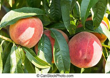ripe peach in the garden on a green background
