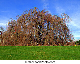 Weeping Beech Tree taken in the spring time.