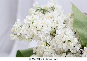 lilac flowers - twig white lilac Syringa vulgaris