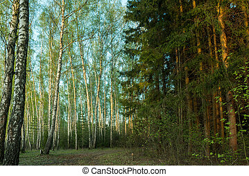 dark spruce and light birch forest - forest road goes...