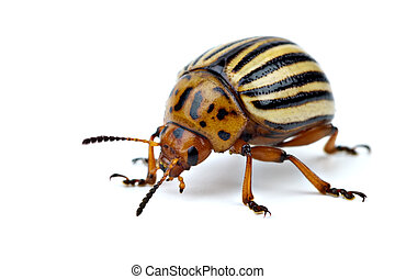 Potato bug (leptinotarsa decemlineata) isolated on the white...