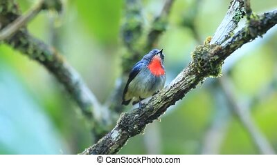 Black-sided Flowerpecker Dicaeum monticolum in Borneo