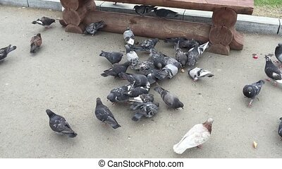 Flock of pigeons eating bread crumbs at city square