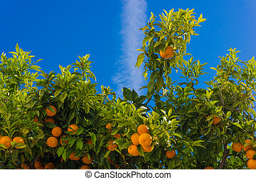 oranges hanging tree mandarin oranges Juicy oranges on the...