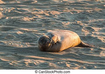 Elephant Seal - elephant seal on a california beach