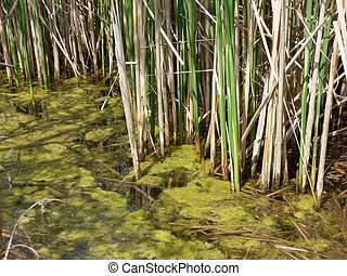 Morass on lake with rushes