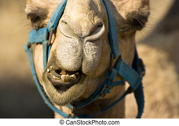 Camel Isolated - Camel isolated face closeup with teeth,...