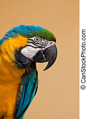 ara ararauna - Blue and yellow Macaw  Ara ararauna parrot