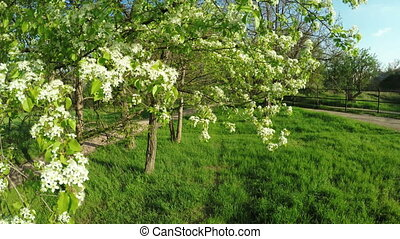 Flowering pear - In spring garden flowering pear tree