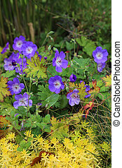 Blue Geranium with yellow plants