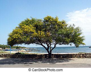 Acacia tree, Sardinia, Italy - San Teodoro, Acacia tree,...