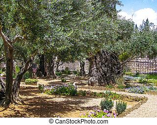 Olives trees in the Garden of Gethsemane, Jerusalem.