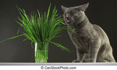 Happy gray cat eating fresh green grass indoors