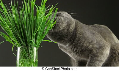 Happy cat eating fresh green grass on gray background