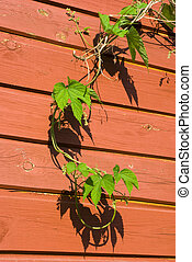 Young Common Hop plant - Young Common hop plant against a...