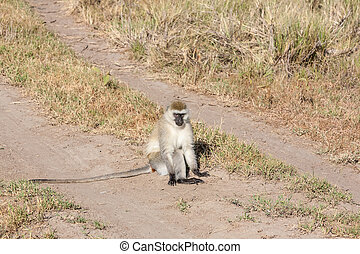 Baboon - baboon sitting on a road, Kenya, Africa