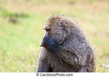 Baboon - baboon sitting on a background of savanna, Kenya,...