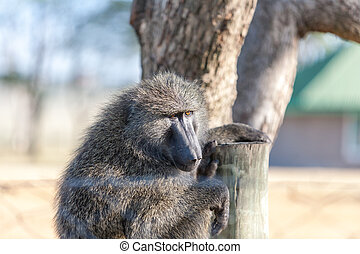 Baboon - baboon sitting on a background of tree, Kenya,...