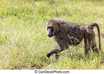 Baboon - baboon on a background green grass, Kenya, Africa
