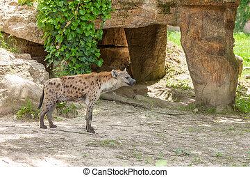 Hyena  - The  wild hyena wandering Italy