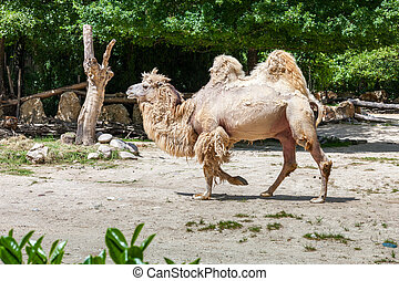 Bactrian camel - The beige bactrian camel in zoo Italy