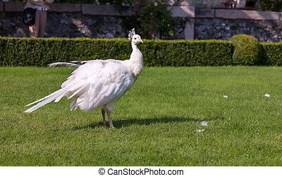Beautiful and unusual white peacock wandering around
