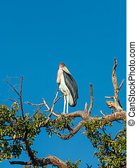 Marabou Stork sitting on a branch against the blue sky -...