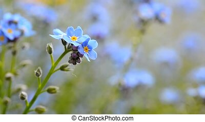 Forget me not flower - Macro shot of the Forget me not...