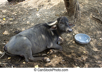 Black buffalo lying on the ground. India, Goa - Black...