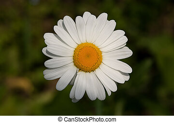 Oxeye daisy Leucanthemum vulgare close-up of a head