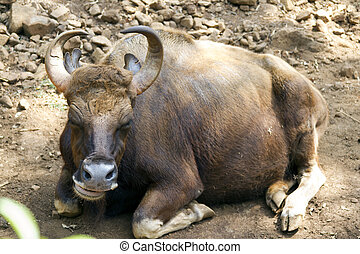 Brown cow lies on the ground. India, Goa. - Brown cow lies...
