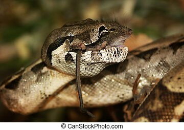 lunch with mice - snake -boa constrictor, lunch with mice